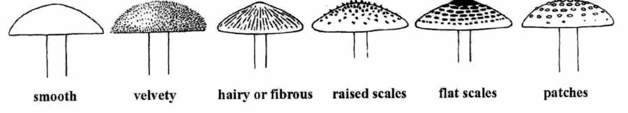 mushroom cap surface: